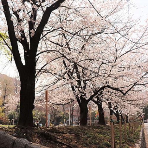 【お部屋でお花見】桜ビュールームで春満開<てまり寿司三段重ランチ+スパークリングワイン付/朝食なし> 画像